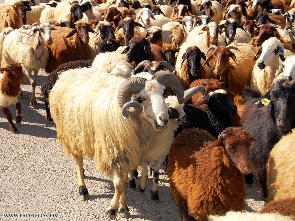 sheep and goats around the